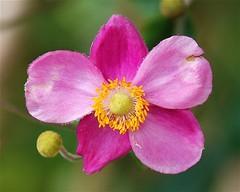 Blossom (StephenReed) Tags: flower nature blossom south abc atlantabotanicalgarden japaneseanemone nikond80