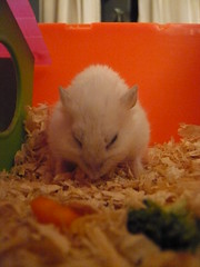 Last picture of Torpedo (G Travels) Tags: torpedo hamsters russiandwarfhamsters