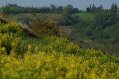 Il prato... (Mauro Bettarel) Tags: yellow giallo colori prato