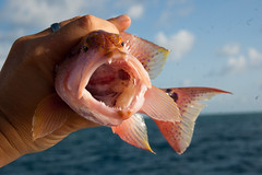 coral trout, laut Richard der leckerste Fisch