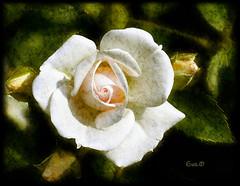 Elogio della banalit (cos ho il dittico :D) (in eva vae) Tags: old flower macro art rose four warm eva framed bud trivial elogio t