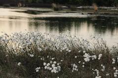 Twist, Rhler Moor - Schmalblttriges Wollgras (Eriophorum angustifolium) (106) (Chironius) Tags: flowers sunset flower fleur grass germany atardecer deutschland abend zonsondergang tramonto sonnenuntergang blossom dusk flor twist pantano erba peat swamp bottoms alemania grasses gras marsh dmmerung moor bog crpuscule fiore blte marais allemagne germania herbe sump schemering crepuscolo emsland naturpark grser  abenddmmerung niedersachsen sumpf eriophorumvaginatum   gramines tourbire   poales  turbera bourtangermoor  marcageuse commeliniden ssgrasartige rhlermoor