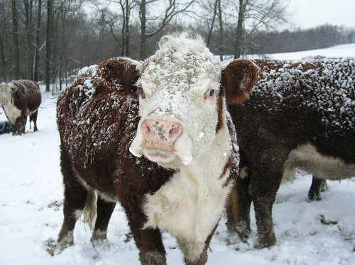 snow cows by Paula R. Lively, on Flickr
