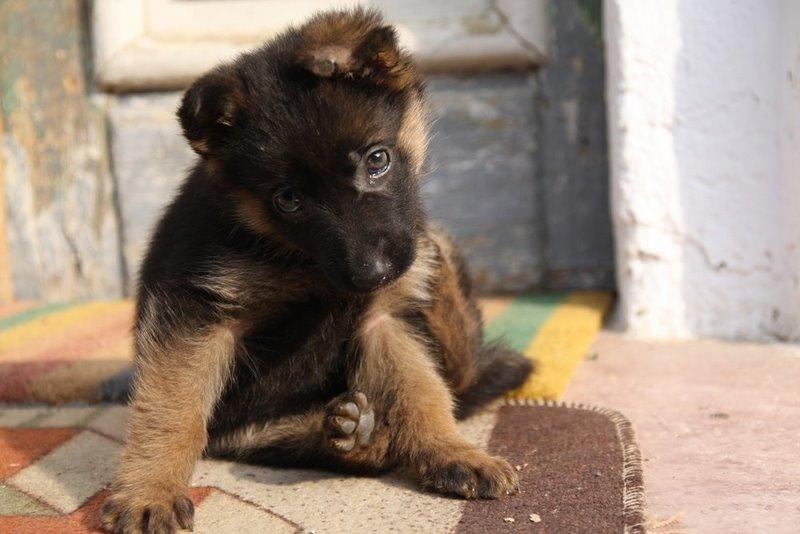 Cut Ear On Puppy Will It Be Noticeable German Shepherd Dog Forums