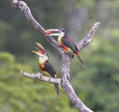 Peru, Tambopata (richard.mcmanus.) Tags: peru amazon rainforest dragon naturesbest cls mcmanus birdwatcher classa tambopata aracari top20birds peruvianamazon naturalexcellence peruvianimages allthosebirds wonderfulworldofbirds worldnatureclose