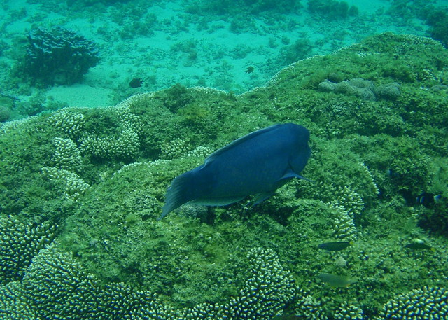 Lord Howe Island snorkeling - Double headed wrasse clown fish and others