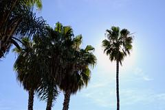 Plenty of Sunshine (Rick Insane Diego...) Tags: trees sunshine palms sandiego nik missionbay tonalcontrast procontrast