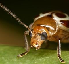 Coleoptera portrait
