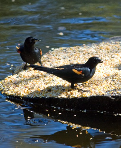 red-winged blackbirds photo by Adrienne in Ohio