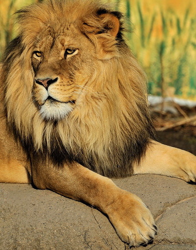 african lion habitat. African Lion (Male) - Rosamond