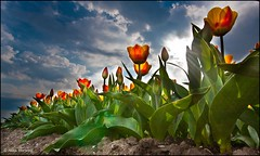 Red/Yellow Tulips (Alex Verweij) Tags: red sun sunlight yellow backlight canon tulips explore geel rood zon 1022mm flevoland almere tegenlicht tulpen zonnestralen 40d platinumphoto theunforgettablepictures alexverweij oltusfotos
