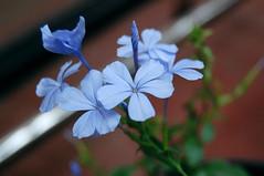 Blue Plumbago (jayesh912) Tags: blue india flower plumbago plumbaginaceae plumbagoauriculata chitrak nilchitrak