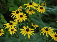 Black Eyed Susan (dkuchars) Tags: flower macro blackeyedsusan olympuse20