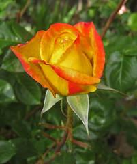 Judy Garland, Roses in my backyard