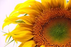 Sunflower IMG_0259 (OZinOH) Tags: flowers columbus ohio flower sunflower columbusohio columbusoh masterphotos