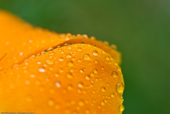 Fresh!! (p.folrev) Tags: orange flower macro green water rain 2009 californianpoppy noff