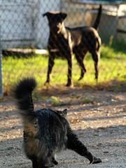 Tiger, Chain Link Brave (joecrowaz) Tags: arizona cats pets animals morninglight olympus nofear e500