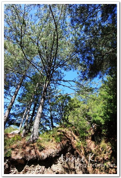 武陵桃山松樹2