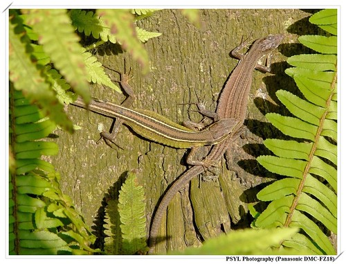 Formosan Grass Lizards (Takydromus formosanus) - 台灣草蜥