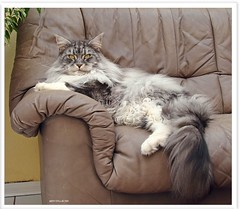 Seine Lordschaft lsst bitten! - Audience with His Lordship Maxwell! (Jorbasa) Tags: pet animal cat deutschland hessen mainecoon maxwell katze kater gemany tier wetterau cc100 velvetpaws jorbasa blackclassicsilvertabby memorycornerportraits