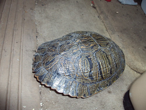 New Braunfels turtle