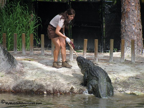 IMG_2099-Naples-Florida-zoo-gator-feeding-time