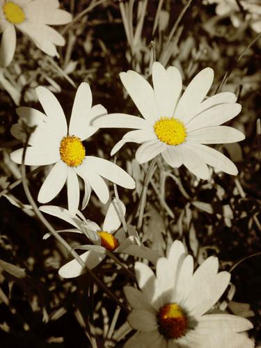 david henderson daisies