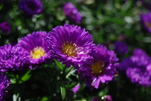 Hybrid Purple Aster
