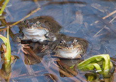 Frogs (Lotta Adehed) Tags: nature animal natur frog frogs lotta djur groda grodor naturewatcher adehed lottaadehed