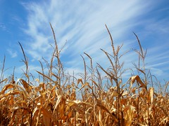 Golden Sky (Shutterfool) Tags: autumn ohio fall field rural corn day cloudy harvest crop cornstalks feed farmer circleville rt56 ruralohio