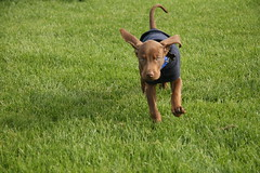 Flying Ears of the Flying Boy (Palmer Digital Studio) Tags: dog pet baby brown home halloween puppy toy mix day dancing chocolate tag first vizsla canine queen weimaraner german chew bandana pooch abba hungarian