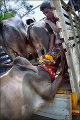 I want to stay ! (oochappan) Tags: travel india standing canon eos ef1635mmf28lusm 2009 madurai tamil tamilnadu southindia dravidian oochappan jallikattu img5345 indianphotography canon50d palamedu tamillifeculture