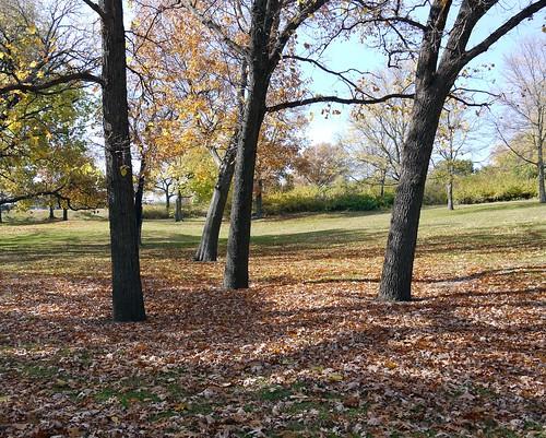KU campus trees