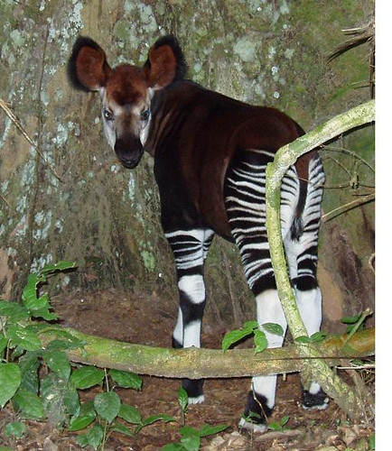 okapi_infant2
