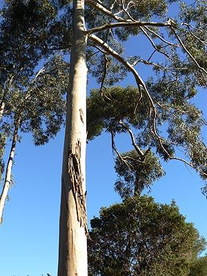 immenses eucalyptus.jpg