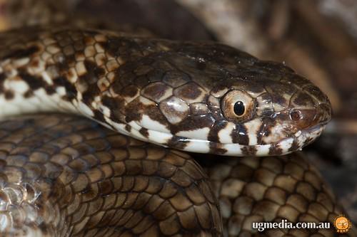 De Vis' banded snake (Denisonia devisi)