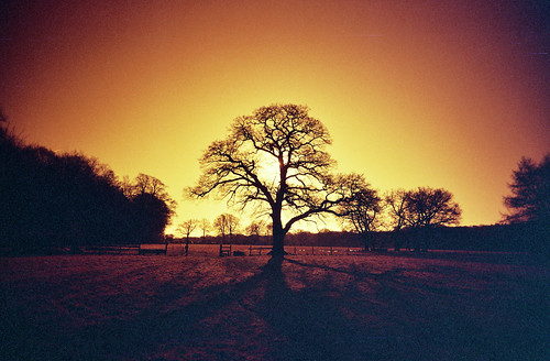 redscale oak