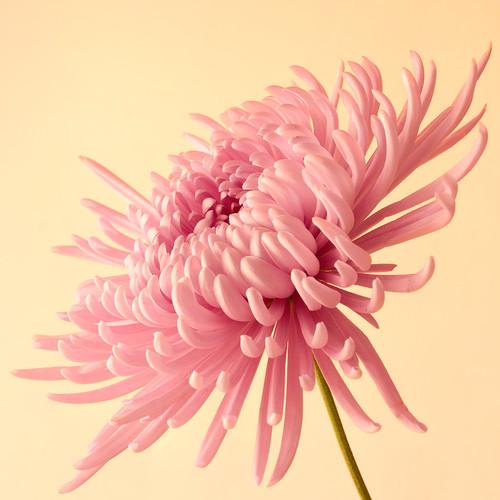 Pink_20090118