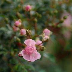~ Pink Valentine