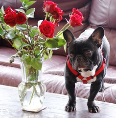 Single Frenchman Seeking Voluptuous English Lady.... Must Love Biscuits (DBCoop77) Tags: blackandwhite french bulldog frenchie bully bambam bullies bullie batears supershot abigfave fenchbulldog platinumphoto goldstaraward