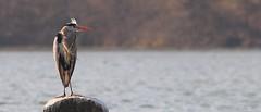 Hron cendr-Ardea Cinerea (Luciano 95) Tags: fab bird nature water birds fauna searchthebest wildlife aves ardeacinerea fabulous soe animalplanet birdwatcher excellence naturesfinest birdsoftheworld birdphoto abigfave aplusphoto avianexcellence betterthangood goldwildlife natureselegantshots wwfita avesdelmundo vosplusbellesphotos naturescreations