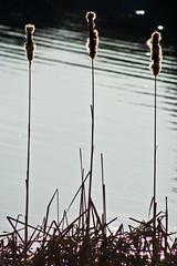 Gnossiennes: No. 3 (MightyBoyBrian) Tags: light 3 water canon reeds rebel xt dawn no silhouettes cattails erik 75300mm fuzz satie fuzzie gnossiennes reallyitsnotblackandwhite