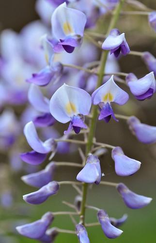 wisteria 3