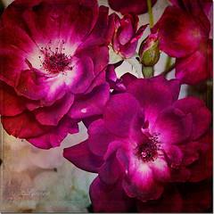 Bright Eyes (Images by Lynne) Tags: flowers texture amazingcolors naturesfinest flowerotica freenature flowersandgarden selectbestfavorites