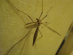 Daddy Has Wings. (xCupidxStuntx) Tags: uk bug insect daddy spider fly long legs crane creepy british crawly