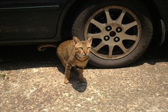 (Danny Chou) Tags: cat voigtlander 28mm rd1 f19 aspherical  ultron