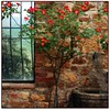 if these walls could talk (beesquare) Tags: italy window rose stone rustico ancient italia rustic vine courtyard basin tuscany wildrose pienza tap toscana valdorcia tufa forlucia ancientstone terrapille