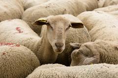 Brebis (Marjolaine) Tags: animal sheep tokina andorra mouton ewe brebis andorre troupeau 40d bordesderigoder