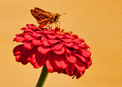 A Portrait of Nature's Purity (Jeff Clow) Tags: macro nature closeup butterfly texas skipper dfw zinnia skipperbutterfly 1exp jeffrclow top20texas topazadjust