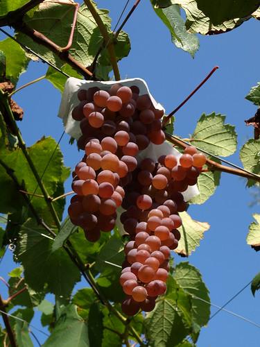 甲州ぶどう (Koshu grapes)